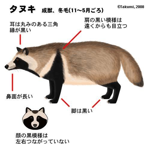 タヌキ 図解・グラフ・一覧・比較の画像とか