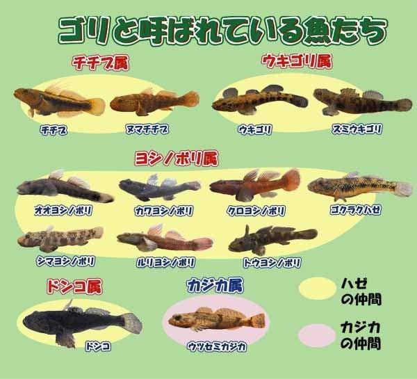 ゴリと呼ばれている魚たち 図解・グラフ・一覧・比較の画像とか