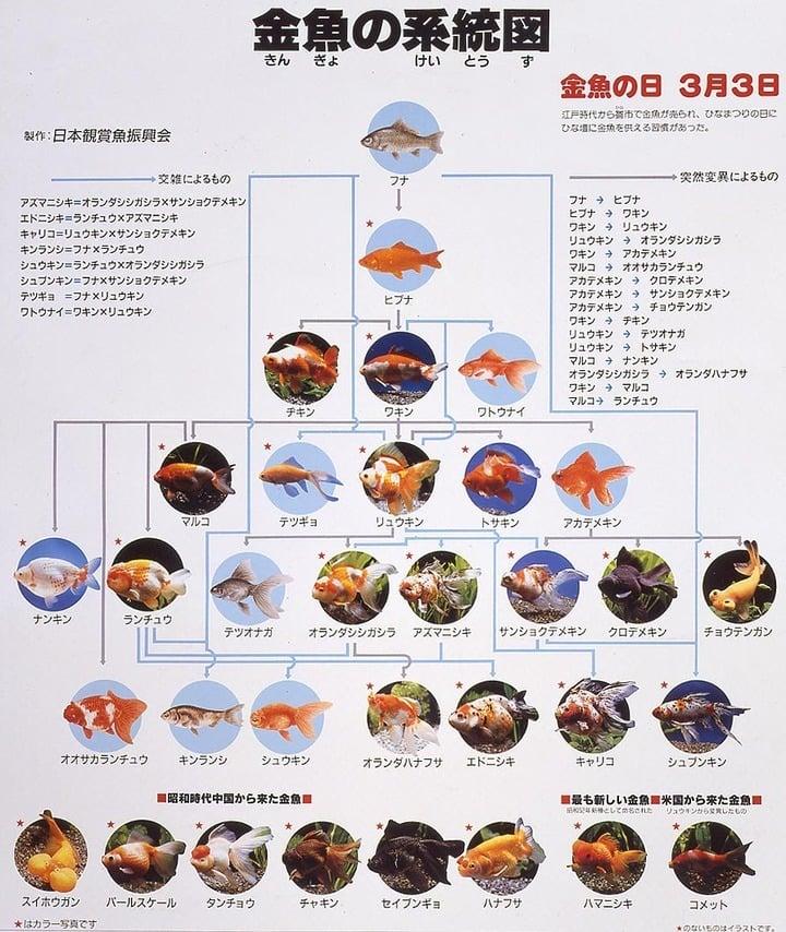 金魚の系統図 図解・グラフ・一覧・比較の画像とか