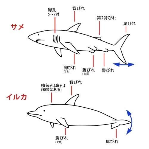 サメとイルカ 図解・グラフ・一覧・比較の画像とか