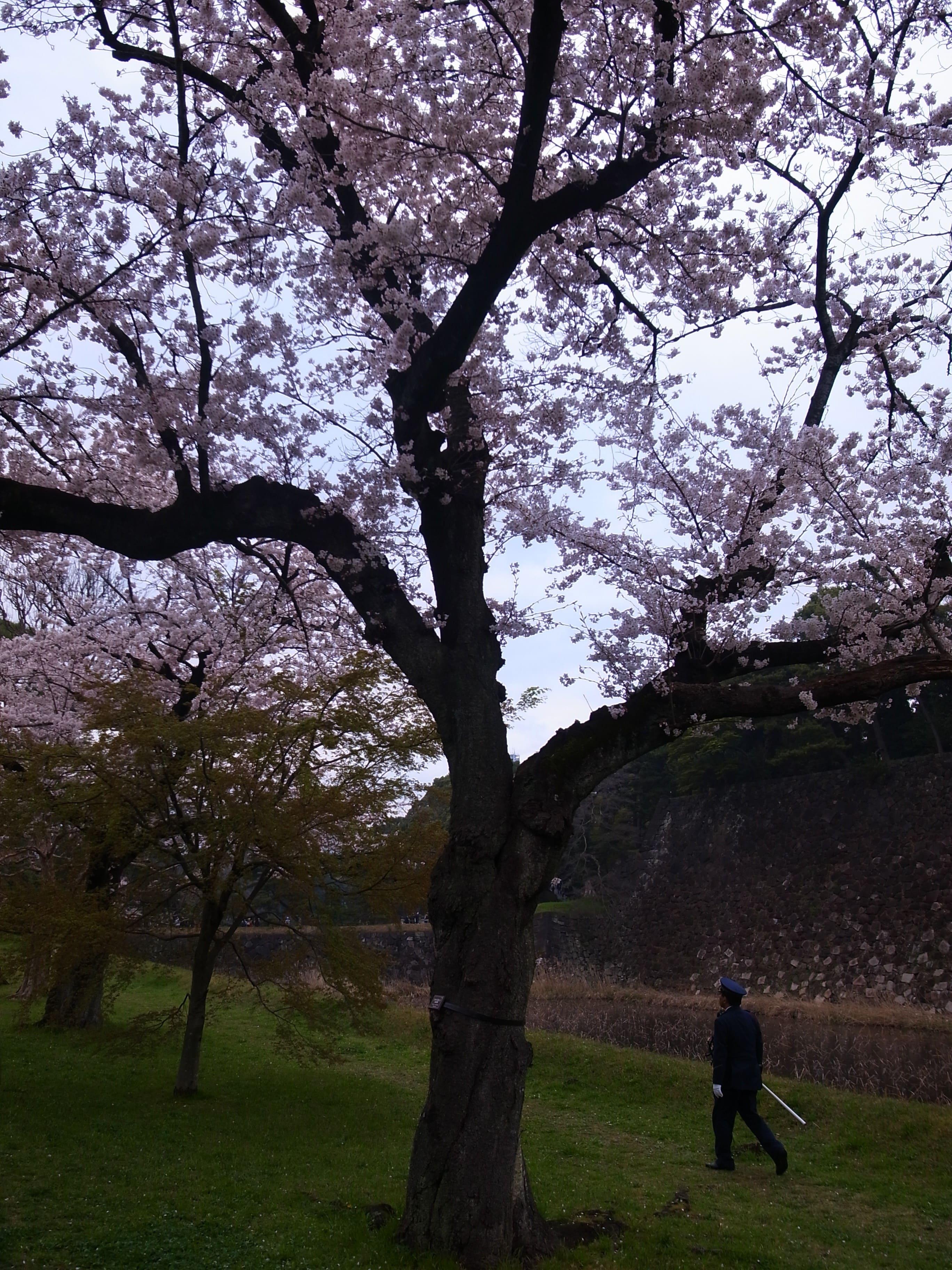 皇居の乾通りが綺麗ということで行ってきました